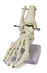 Foot Skeleton Model
