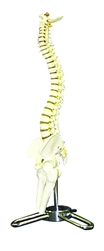 Human Spinal Column Model (1/2 size)