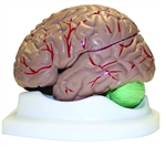 Life Size Brain Model -3 Part