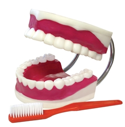 Teeth Model With Brush
