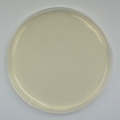 Potato Dextrose Agar Prepared Plate - Set of 10 plates