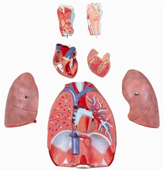 Model of the Human Respiratory System