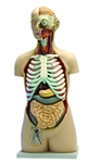17  Part Human Torso Model with Open Back