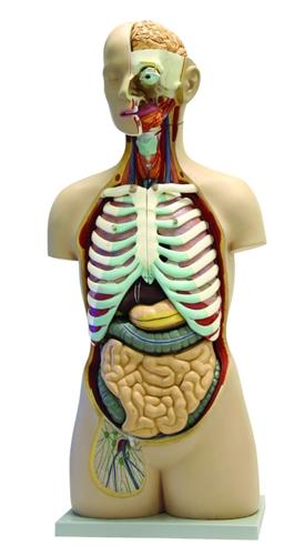 17 Part Human Torso Model with Open Back