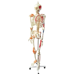 Full Size Skeleton with muscles & ligaments