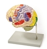 4 Part Color Coded Life-Size Human Brain Model