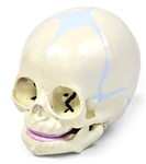 Human Fetal Skull Model (30th week of pregnancy)