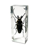 Trictenotomid Beetle Paperweight