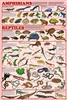 Amphibians and Reptiles - Laminated Poster