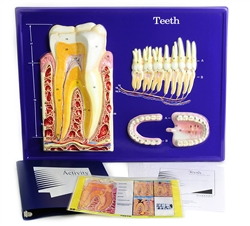 Teeth Model Activity Set