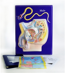 Male Reproductive Model Activity Set