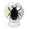 Antler Horned Beetle in Sphere