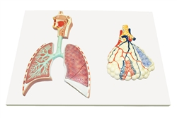 Respiratory System Model w/Magnified Alveolus