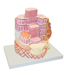 Skeletal Muscle Fiber Model