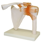 Shoulder Joint Model