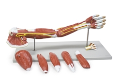Muscles of the Human Arm - 7 Parts