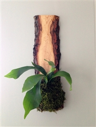 Live Edge Planter Staghorn