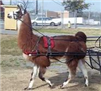 Standard Driving Harness