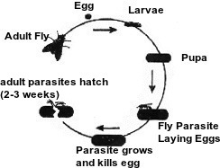 Fly Parasite Plans for 2018