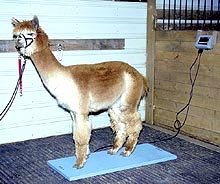 Camelid Scale - For Alpacas -FREE SHIPPING!