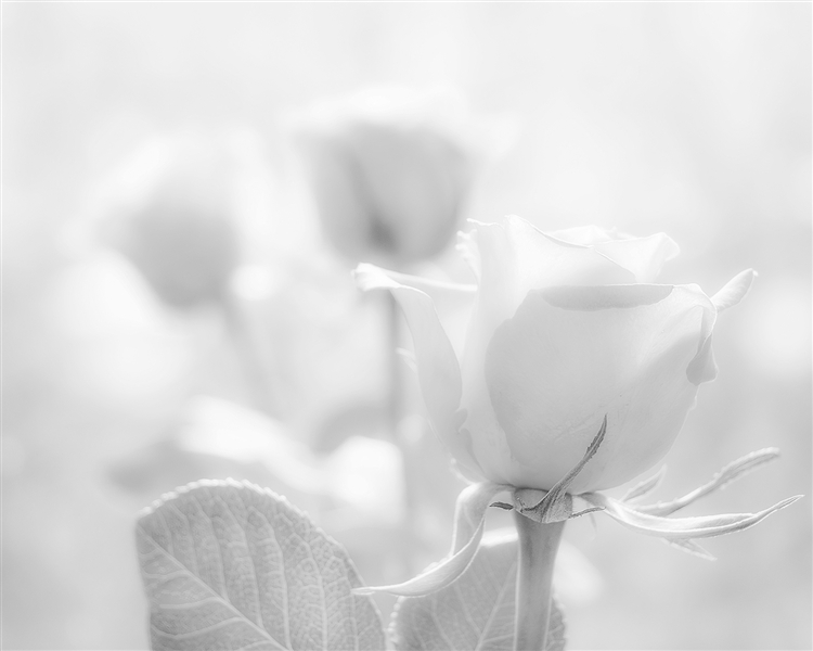 3 Roses in black and white by Hal Halli