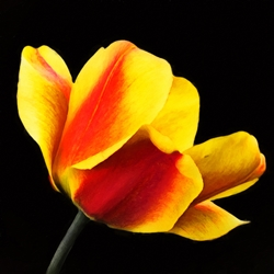 Peach Tulip on Black by Hal Halli