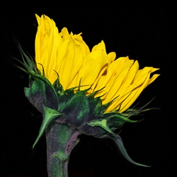 Sunflower Profile on Black by Hal Halli