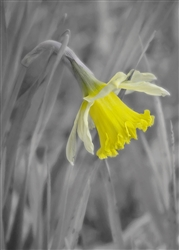 Daffodil Comes Out by Hal Halli