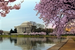 Tidal Basin - Cherry Blossom by Mitch Catanzaro