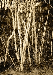 Autumn Birch by Hal Halli