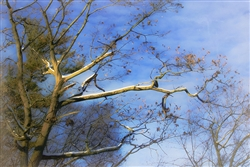 Tree in Winter Sky by Hal Halli