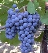 Merlot Geyserville Grapes