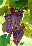 Shiraz Fresh South African Grapes 18 lbs