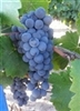 Barbera Fresh South African Grapes 18 lbs