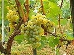 Viognier Mettler Grapes