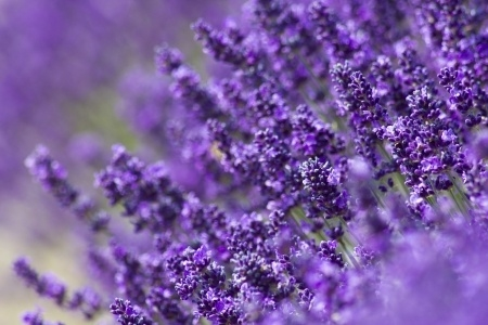 Lavender, 4 oz. bottle of Lavender fragrance oil for candles. Soy carrier.   1/2 oz. - 1 oz. per pound of wax.