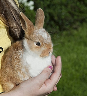 Rabbit Care - Certificate