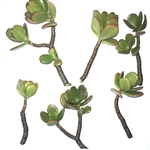 6 Jade Plant Succulent Cuttings - Easy to Propagate