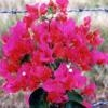Bougainvillea Miami Pink-PINK WITH GREEN FOLIAGE