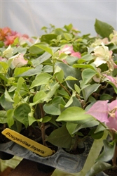 Bougainvillea Imperial Thai Delight-Bicolor White with Pink tips Violet tinge with green leaves