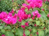 Bougainvillea Juanita Hatten-Blooms Scarlet dark red with green leaves