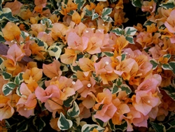 Bougainvillea Delta Dawn--60BLOOMS ORANGE WITH VARIEGATED LEAVES