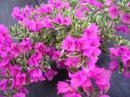 BLUEBERRY ICE BOUGAINVILLEA-BLOOMS/BRACTS VIOLET WITH VARIEGATED LEAVES -Tropical Z 9+