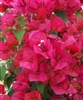 Bougainvillea Flame-Blooms Orange-Red or Brilliant Dark Red Orange Tinge with green leaves-Tropical Zone 9+