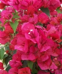 Bougainvillea Flame-Blooms Orange-Red with green leaves