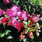 Bougainvillea James Walker-Lavender-Red BLOOMS WITH GREEN LEAVES