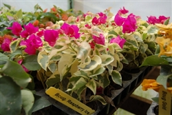Bougainvillea Raspberry Ice-BLOOMS RASPBERRY RED WITH VARIEGATED LEAVES