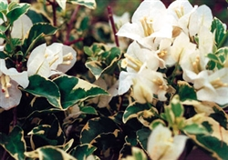 Bougainvillea White Stripe-Blooms White with Variegated Foliage