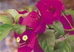 Bougainvillea Elizabeth Angus-BLOOMS LAVENDER-RED WITH GREEN LEAVES