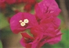 Bougainvillea La Joya-BLOOMS LAVENDER DARK RED WITH GREEN LEAVES